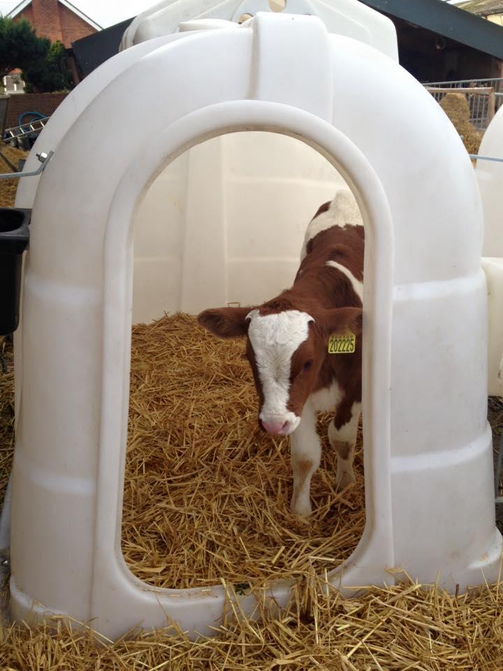 MRI Cows